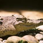 Maleisië Krokodil